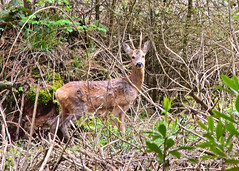 West Quantoxhead - Roe Buck in the Woods 22nd May 2016 (David Cronin) Tags: somerset buck roedeer deerpark capreoluscapreolus wsetquantoxhead