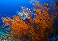 IMG_0470 (Andrey Narchuk) Tags: blue red sea color colorful underwater wildlife sudan deep diving lionfish