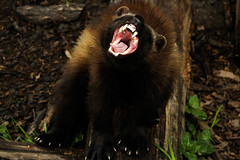 Wolverine (Saana Londono Photographie) Tags: park camera wild white mountain black flower macro cute eye nature water colors beautiful beauty face saint animal animals cat canon mammal photography eos cub reflex big amazing eyes funny flickr noir photographie close suisse expo superb couleurs wildlife portait magic teeth ngc yawn exposition jaws moment simply predator animaux parc magnifique photoshoots croix mammifre magnificient sauvage magique prdateur glouton