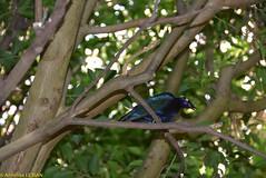 Merle metallique pourpre ou Choucador pourpr - Lamprotornis purpureus (TICHAT10) Tags: sunshine suisse damn animaux oiseaux vaud coth servion lamprotornispurpureus choucador alittlebeauty merlemetalliquepourpre
