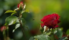 minuscule (rondoudou87) Tags: flower rose rouge red nature bee abeille pentax zeiss planar garden jardin 85mm zeissplanart85 zk zkmount carlzeiss