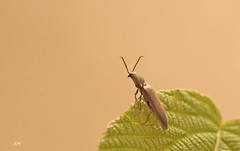 Salut le Monde! / Hi, the World! (alain.maire) Tags: canada nature insect quebec clickbeetle insecte coleoptera coloptre elateridae taupin