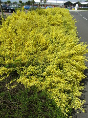 Cytisus (wallygrom) Tags: england worthing westsussex eastpreston haskins angmering rustington ferring a259