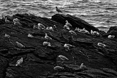Oiseaux de mer-C_051_2_DxO (Rmi Besserre) Tags: autumn seascape france automne brittany europe bretagne breizh morbihan seabirds oiseauxdemer paysagelittoral