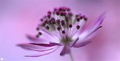 Soulful beauty (Trayc99) Tags: pink macro floral beautiful closeup decorative pastel delicate astrantia floralart beautyinnature flowerphotography beautyinmacro