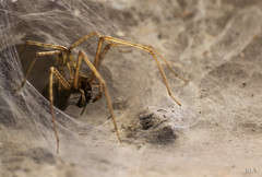 Hunter and prey (J0.A) Tags: spider araigne chasse arachnide proie