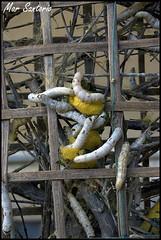 Gusanos de seda (Mar Santorio) Tags: d50 nikon silk vietnam hoian worms saigon gusanos silkworms gusanosdeseda