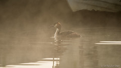 A misty morning at Arlington (Sue MacCallum-Stewart) Tags: mist water arlington sussex atmospheric greatcrestedgrebe wildbird aquaticbird