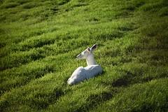Albino whitetail deer (SaltyDogPhoto) Tags: light white field animal animals female photography evening nikon sunny doe deer pasture albino nikkor rare whitetail warmlight photooftheday nikonphotography oregondairy nikond7200 saltydogphoto nikkor1680mmf284eedvr