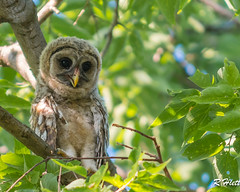 Adorable... (ragtops2000) Tags: detail tree love nature youth eyes nikon nebraska sitting perspective raptor stare eastern youngster bellevue exciting d500 barredowl owlet