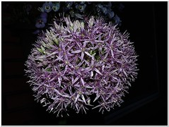 Allium - survived the Thunderstorm (MaxUndFriedel) Tags: flower rain night garden blossom thunderstorm leek allium