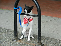 Three Legged Dog (knightbefore_99) Tags: vancouver eastvan commercialdrive thedrive littleitaly sunday car free day june street party italian italy cool brave dog puppy cute three legged