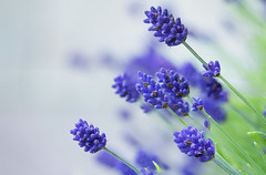 Lavender (Frank Fullard) Tags: blue favorite flower green cooking botanical perfume purple vibrant lavender smell favourite botany loved herb culinary aroma lavandula nacro fullard frankfullard
