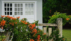 The old picket fence (judith511) Tags: window vine orangeflower trumpetvine oldfence naturethroughthelens
