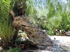 Olivo (Lachezar G.) Tags: plant tree arbol plantas olive baum baleares olivetree olivo balears