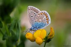 Bluling auf Futterquelle (novofotoo) Tags: tiere natur pflanzen insekten schmetterling polyommatusicarus hauhechelbluling blulinge gewhnlicherhornklee schmetterlingsbltenartige gemeinerblauling