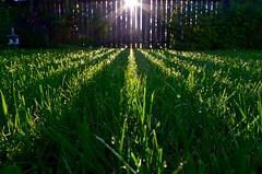 Good Day Sunshine (faithroxy) Tags: outdoor grass morning sunrise pattern repetition sun sunflare sunburst fence happy friday alberta canada backyard wideangle 14mm rokinon nikon summer texture
