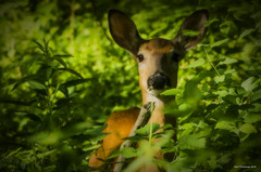 Hiding In The Bushes. LaSalle, ON. (Pat86) Tags: deer lasalle bushes photooftheday lasalletrail