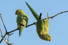 Deep in the wilds of ... Barnsley! (davepsemmens) Tags: bird birds nikon exotic parakeet parakeets d500 ringneckedparakeet