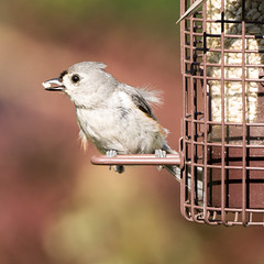 Tufted Titmouse with safflower seed (Explore) (Frank Oller) Tags: home birds backyard birdfeeder tuftedtitmouse niantic frankoller