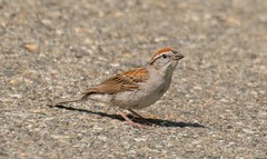 7K8A3710 (rpealit) Tags: scenery wildlife nature sparta glen chipping sparrow bird