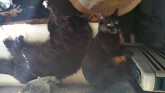 Neo and Leeloo. (julzz2) Tags: cats pets animals mycats felines cutecats pussycats blackandwhitecats catlovers sunnycats felinefaces blackcatsfaces