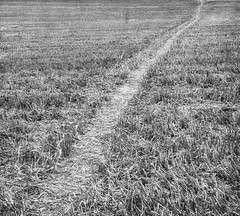 Wheatfield path (theoldsmithy) Tags: path field wheat diagonal stubble rx100