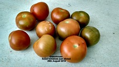 Greenhouse - Salad tomatoes just picked 29th August 2016 (D@viD_2.011) Tags: greenhouse salad tomatoes just picked 29th august 2016