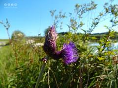 Am  Walder Weiher (warata) Tags: 2016 deutschland germany sddeutschland southerngermany schwaben swabia oberschwaben upperswabia schwbischesoberland bayern allgu bayerischesallgu alpenvorland ostallgu wald waldimallgu purpleflowers see weiher lake landschaft landscape