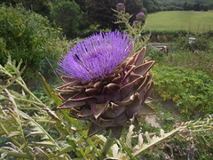 Cynara cardunculus (Globe Artichoke), Tring Allotments, Herts, 11.8.16 (respect_all_plants) Tags: globeartichoke cynaracardunculus tring allotments herts hertfordshire flowers cultivated