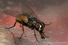Fly (Jon Zazpe) Tags: macro insect insecto insects indoor insectos extreme sigma 105 f28 mosca fly luz flash contrast red rojo nature naturaleza animales animal bug extension tube