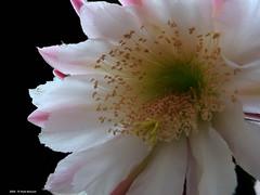 ER 160901 (34) (Paolo Bonassin) Tags: flowers cactaceae cactacee cactus succulente cereus cereusperuvianus