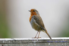 Tall And Proud...... (law_keven) Tags: robin robinredbreast catford london england garden gardenbirds birds feathers featheryfriday