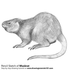 How to Draw a Muskrat with Pencils [Time Lapse] Muskrat is a medium size Ondatra. Its scientific name is Ondatra zibethicus. In this tutorial, we will draw Muskrat. Step by Step Tutorial on http://bit.ly/2cl2SYu Total Time: 2 hours Pencils: HB, 2B, 4B (drawingtutorials101.com) Tags: muskrat muskrats rodents animals ondatra zibethicus sketching pencil drawings sketch sketches how todraw learn draw