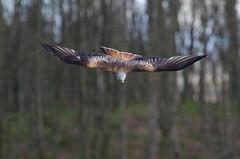 Argaty Red Kite