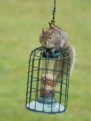 Safe breaker Nutkins. No cage is too tough! (forest star) Tags: squirrels tail nuts burglar breakingandentering