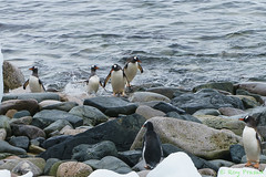 _DSC1134 (Roy Prasad) Tags: travel vacation expedition island penguin gentoo antarctica prasad cuverville cuvervilleisland royprasad