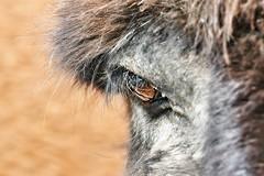 ~~Margot's eye...~~ (Jolisa) Tags: macro eye nikon donkey yeux margot regard ne cils