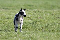 Lammetje (judithvanagthoven) Tags: breakfast canon de bed nederland natuur april 70300mm polder lente zwart wit dieren lage schapen jonge lammetjes 2015 lammetje linschoten
