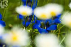 Blaue Blume 4 (JJosh.Arts) Tags: flower see blume frosch garten botanik botanischer