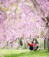 (Rodrigo Herweg) Tags: plants flower japan canon toyota sakura cerejeira kissx cvkc suigenbashi