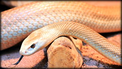 Taipan (alex.gan) Tags: snake deadly taipan serpente mortale velenoso