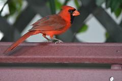 Male Cardinal on Garden bench (blthornburgh) Tags: nature cardinal