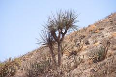 Dragon Blood Tree at Jabel al Qamar IMG_8248 (grebberg) Tags: tree march oman dracaena 2016 dhofar dragonbloodtree dracaenaserrulata jabelalqamar