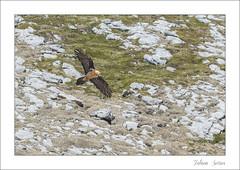Gypate barbu (Fabien Serres) Tags: bird oiseau accipitriformes beardedvulture gypaetusbarbatus gypatebarbu accipitrids