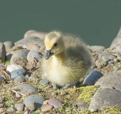 Have you seen my Mom? (Omygodtom) Tags: bird nature season outdoors spring nikon natural bokeh goose animalplanet d7100 nikon70300mmvrlens