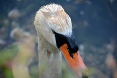 Hola 02 (JoseLuisCcNn) Tags: birds aves cygnus