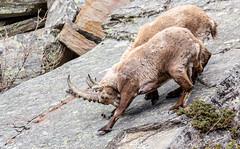 Scendiii (Luciano Fochi) Tags: ibex valledaosta granparadiso stambecchi valsavaranche