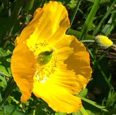 Gold on green (Steve-h) Tags: flowers ireland dublin naturaleza flower green nature grass leaves yellow gold leaf blossom natur blossoms natura poppy buds hff steveh iphonography