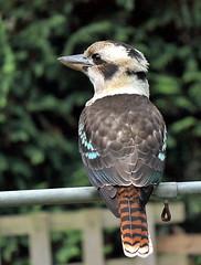 garden helper (alden0249) Tags: nature kookaburra australianwildlife inthegarden